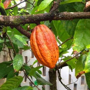 Superfood Cacao