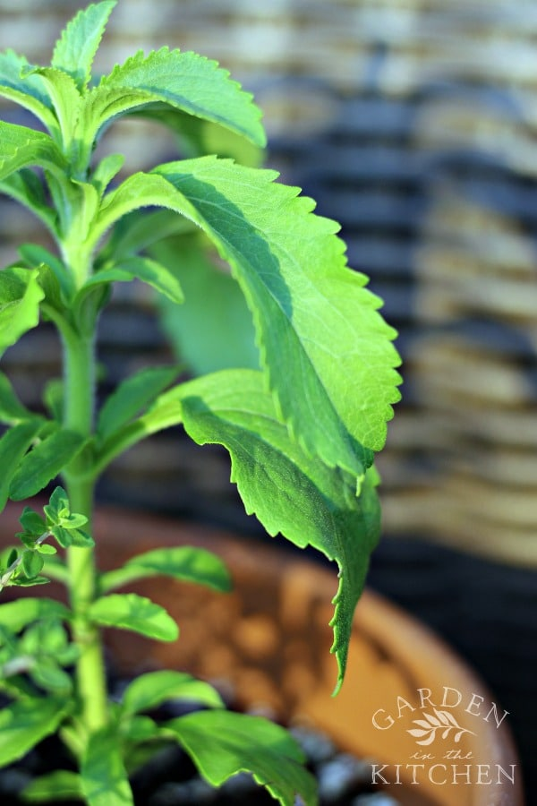 How to Grow and Use Stevia | gardeninthekitchen.com